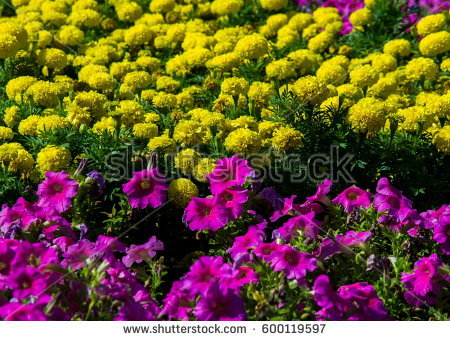Mexican Petunia Stock Images, Royalty.