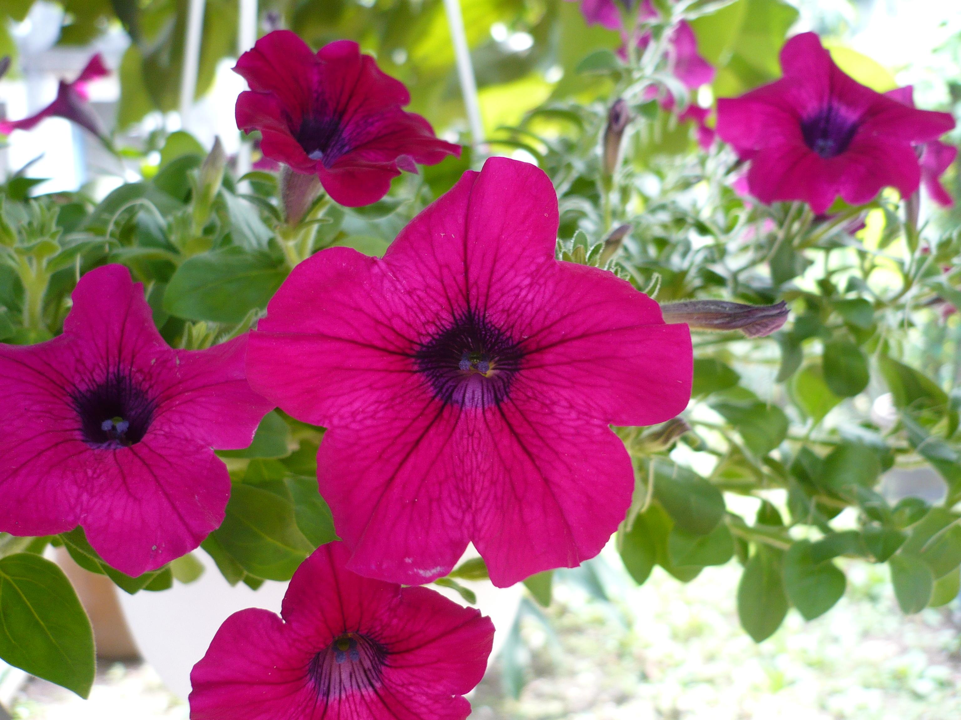 File:Petunia × atkinsiana (2).jpg.