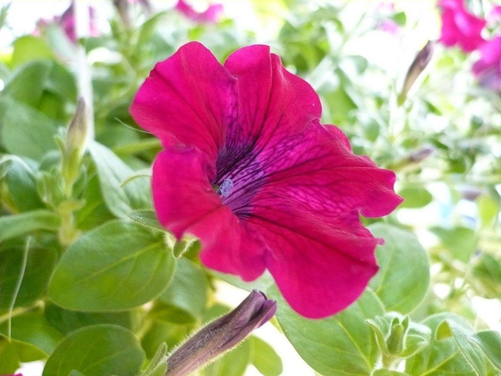Garden Petunia (Hybrid Petunia × atkinsiana) · iNaturalist.org.