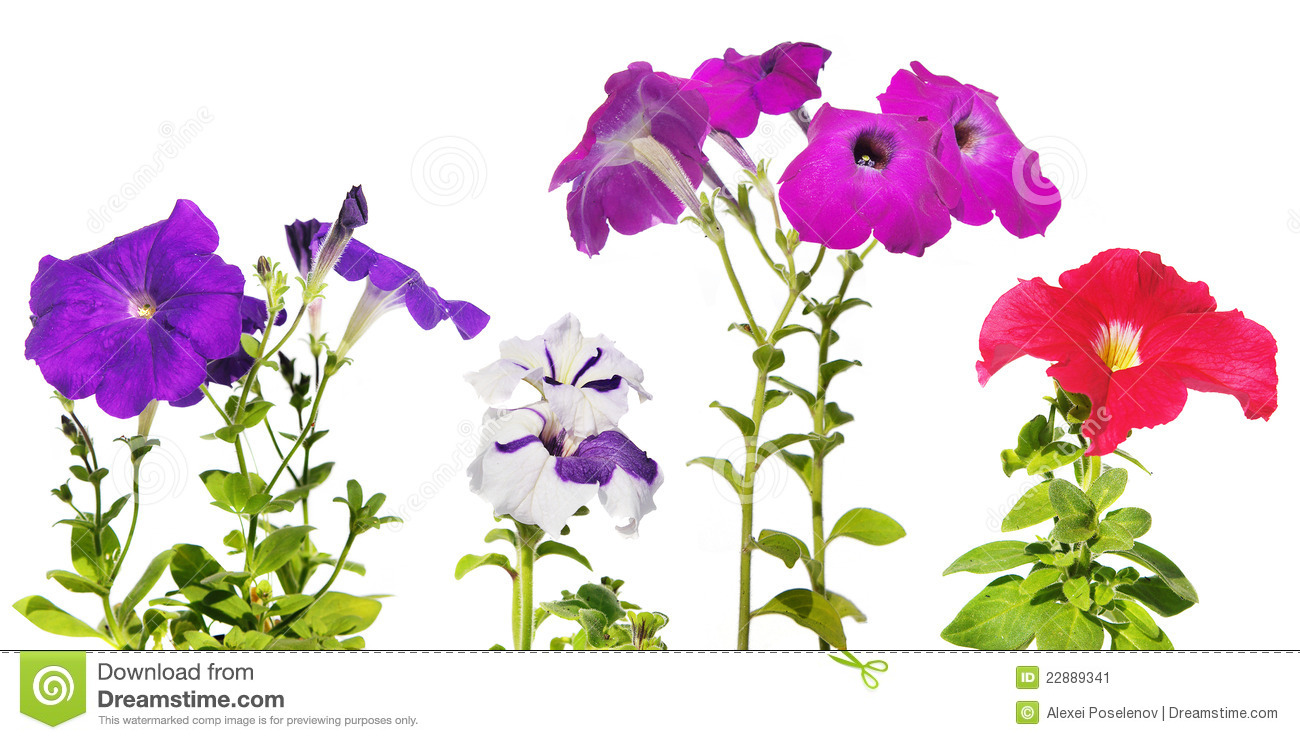 Flowers Petunia Stock Image.