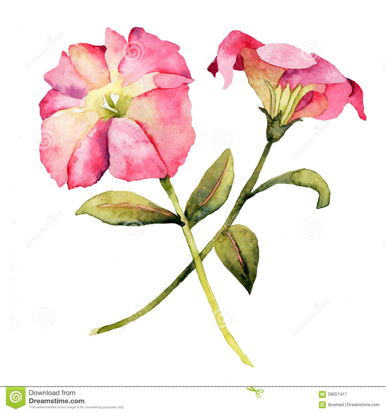 Petunia Stock Illustrations.