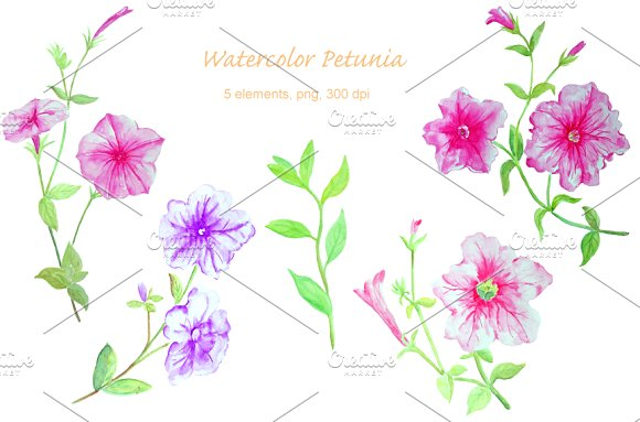 Watercolor Flower Petunia Clipart ~ Illustrations on Creative Market.