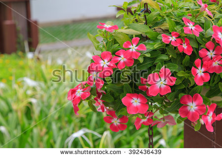Petunia Hybrida Vilm Stock Photos, Royalty.