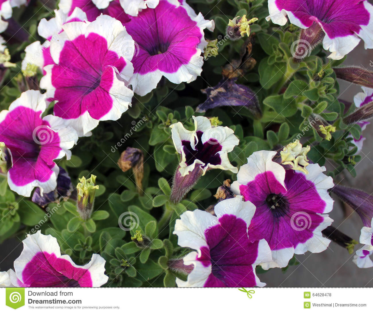 Petunia Hybrida 'Cascadia Rim Magenta'' Stock Photo.