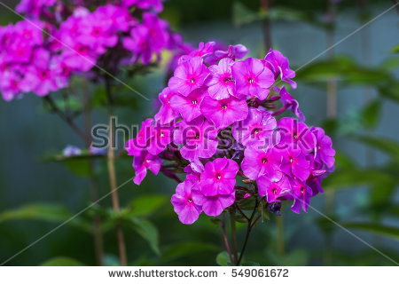 Petunias Stock Photos, Royalty.
