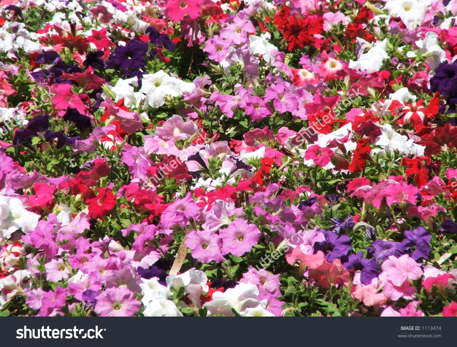 Image Full Of Colourful Petunia (Petunia Hybrida) Flowers Stock.