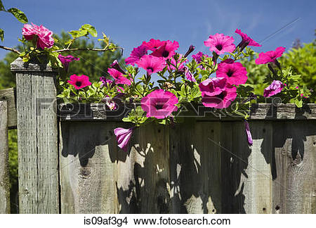 Stock Photo of Petunia on old wooden fence (Petunia x hybrida.
