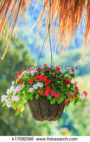 Stock Images of Petunias in hanging pots.( Petunia hybrida Vilm.