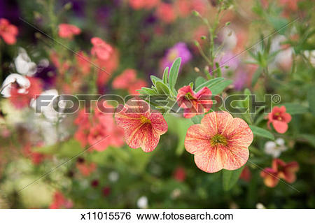 Stock Images of Million bells petunia (Petunia x hybrida.