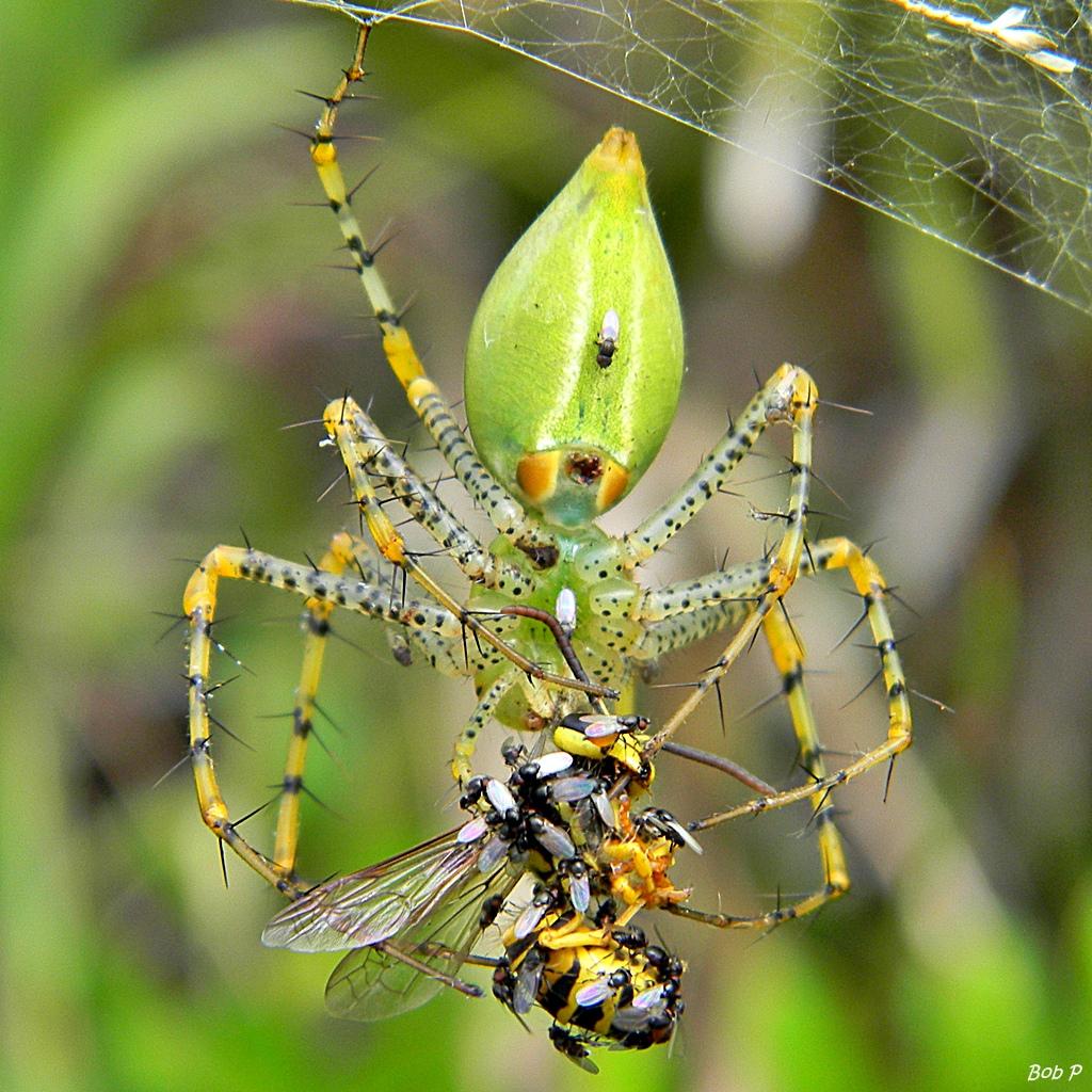 Peucetia viridans (Green Lynx Spider).