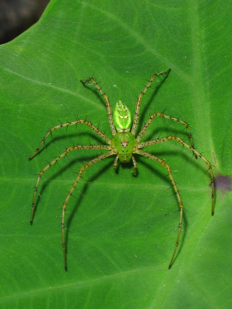 peucetia viridans (female), decatur, dekalb county, georgi….