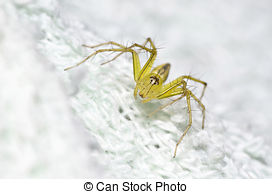Stock Photo of Green Lynx Spider is a conspicuous bright.