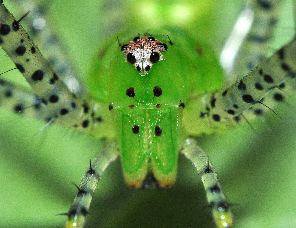 Green Lynx Spider (Peucetia Viridans).