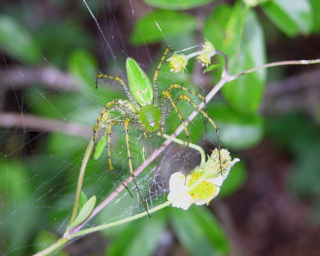 Spider, Green Lynx spider, Peucetia viridans, female, Nuevo Leon.