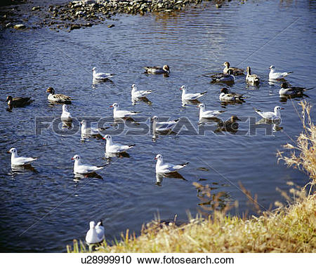 Stock Photography of Pewit gulls and duck on Kamo River, Kyoto.