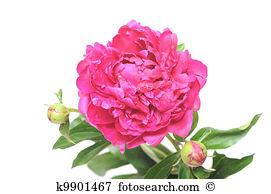 Pfingstrose Stock Fotos und Bilder 18.682 pfingstrose Suchen Sie.