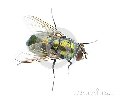 Side View Of A Common Green Bottle Fly, Phaenicia Sericata Royalty.