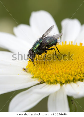 "common_green_bottle_fly"" Stock Photos, Royalty."