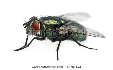 Fly Insect Stock Photos, Royalty.
