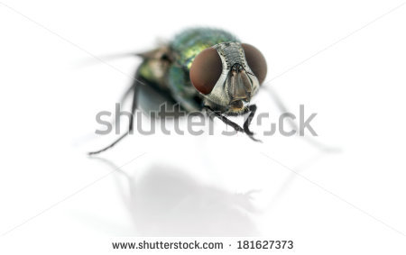 Sericata Stock Photos, Images, & Pictures.