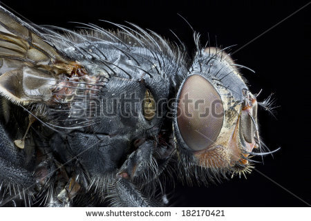 Blowfly Isolated Stock Photos, Royalty.