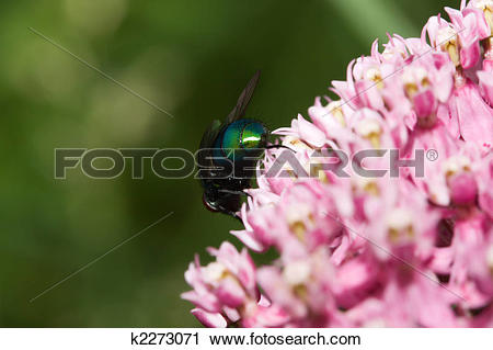 Stock Photography of Greenbottle Fly 'Blow Fly' (Phaenicia.
