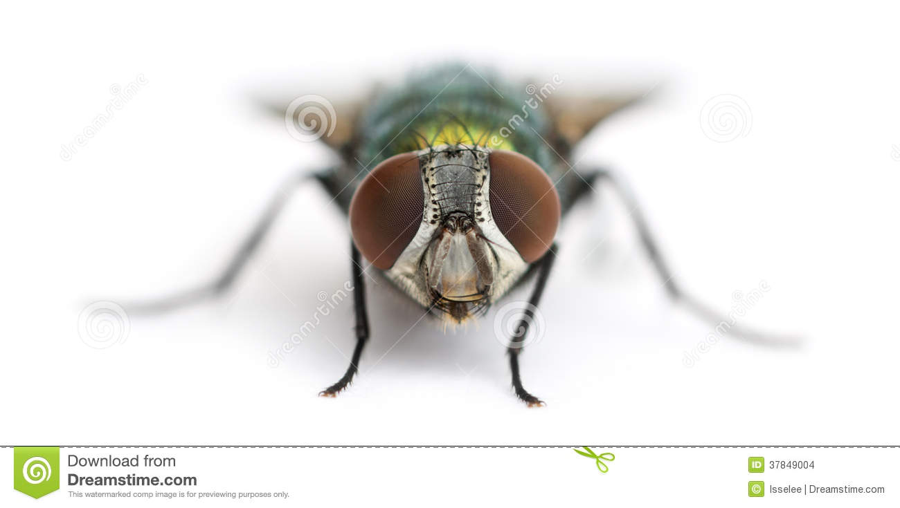 Common Green Bottle Fly, Phaenicia Sericata, Isolated Royalty Free.