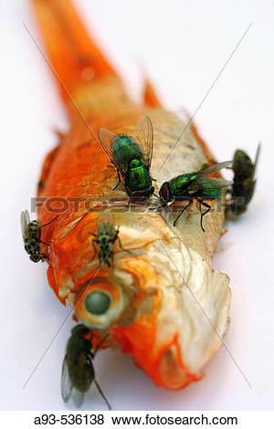 Pictures of Carrion flies (Phaenicia sp) on Goldfish (Carassius.