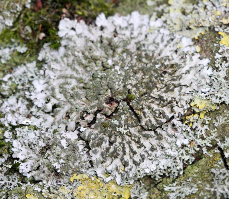Phaeophyscia orbicularis.