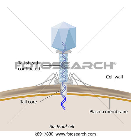 Clipart of Bacteriophage infecting bacteria k8917830.