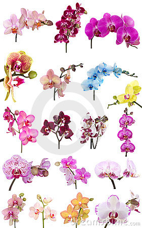 Phalaenopsis Orchid Flower Stock Photo.