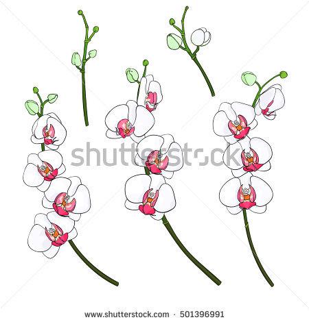 Phalaenopsis Stock Vectors, Images & Vector Art.