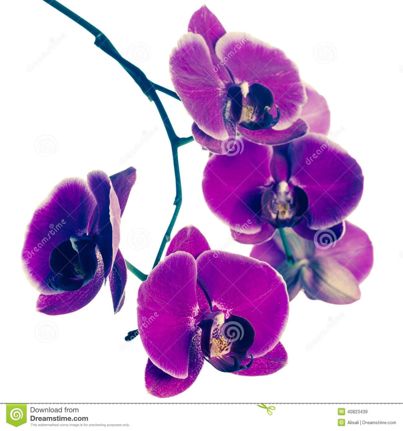 Blooming Purple Orchid Flower, Phalaenopsis, Vintage Style Stock.