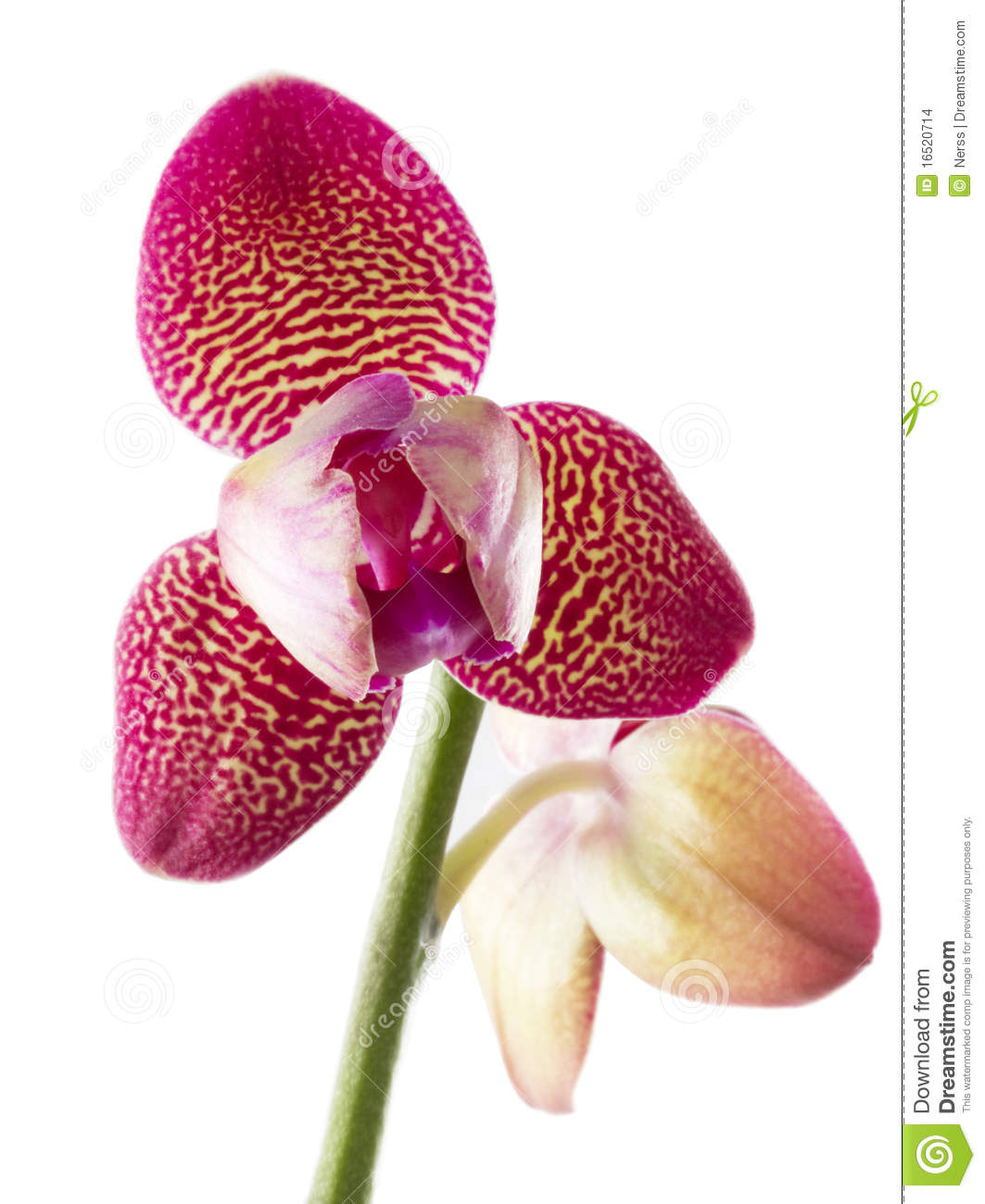 Orchids Flowers Phalaenopsis Orchid Flower Stock Images.