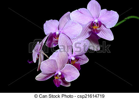 Stock Photography of Shades of Pink on the Phalaenopsis Orchid.