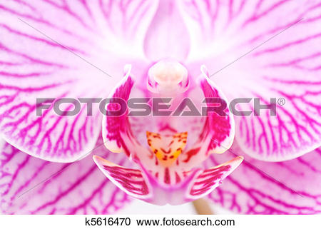 Stock Photography of Orchid beautiful interior grain in blossoming.
