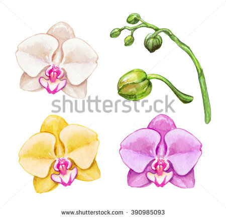 Watercolor Phalaenopsis Orchids Tropical Flowers Botanical Stock.