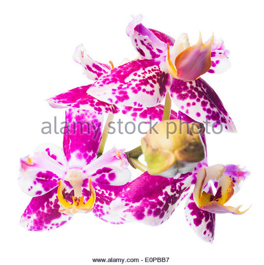 Phalaenopsis Orchid Spotted Purple Flower Stock Photos.