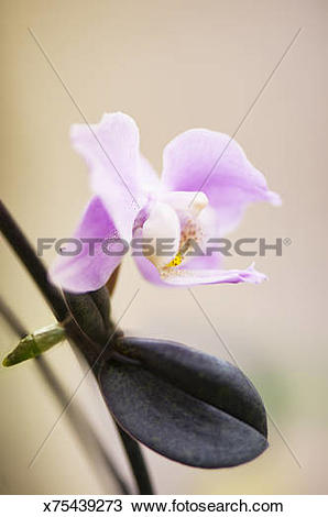 Stock Photo of Pink Phalaenopsis Orchid Keiki in Bloom x75439273.