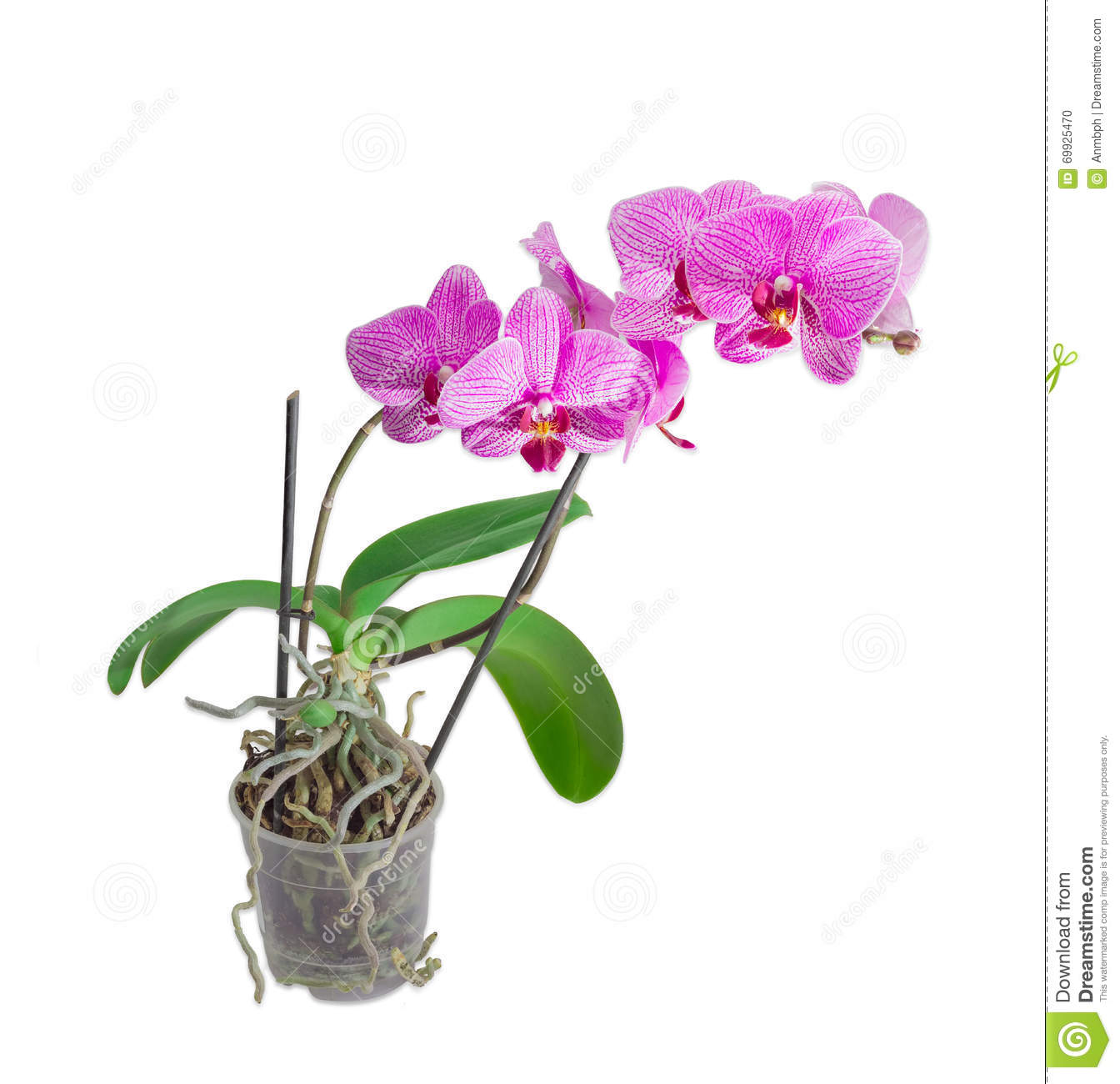 Blooming Phalaenopsis Orchid In A Flower Pot On A Light Backgrou.