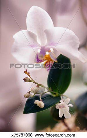 Pictures of Phalaenopsis and Dendrobium Orchids n Bloom x75787068.