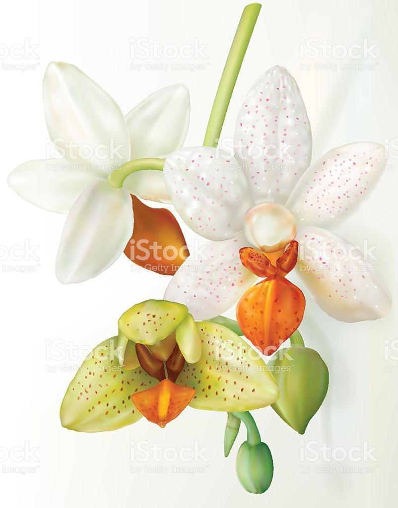 Phalaenopsis Flower That Blooms stock vector art 638053796.