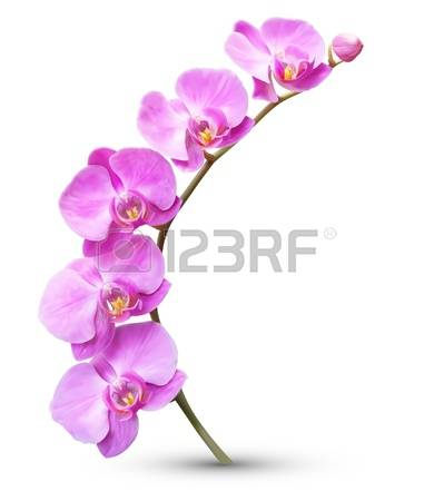 2,483 Phalaenopsis Stock Vector Illustration And Royalty Free.