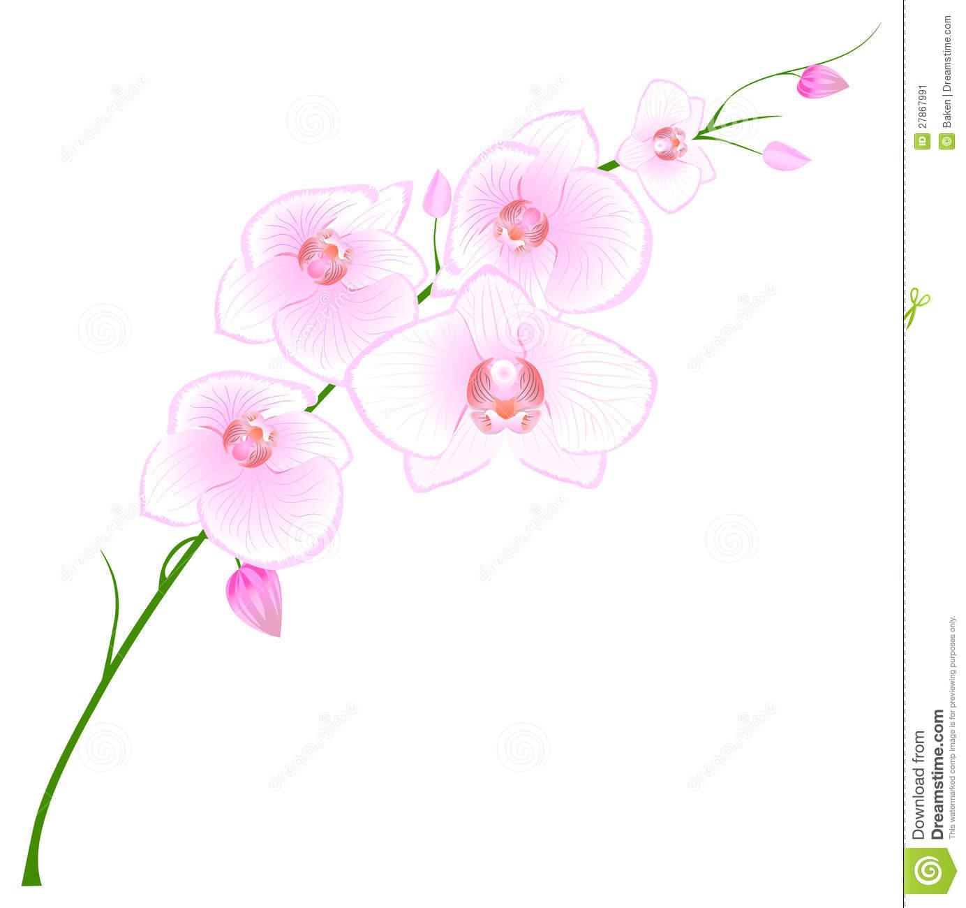 Phalaenopsis Orchid Stock Illustrations.