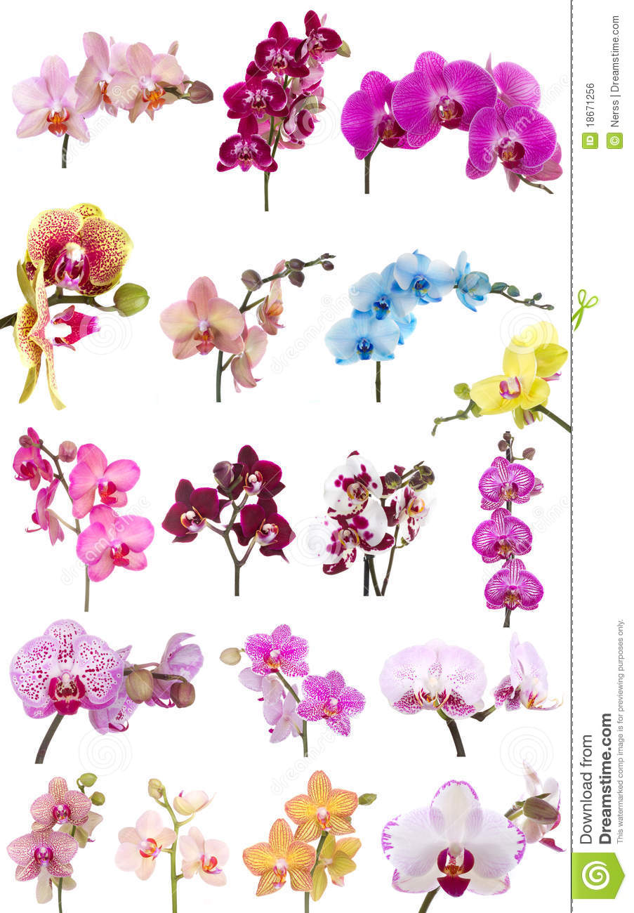 Orchids Flowers Phalaenopsis Orchid Flower Royalty Free Stock.