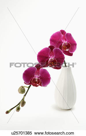 "Stock Image of ""Phalaenopsis,Orchid,Flower"" u25701385."