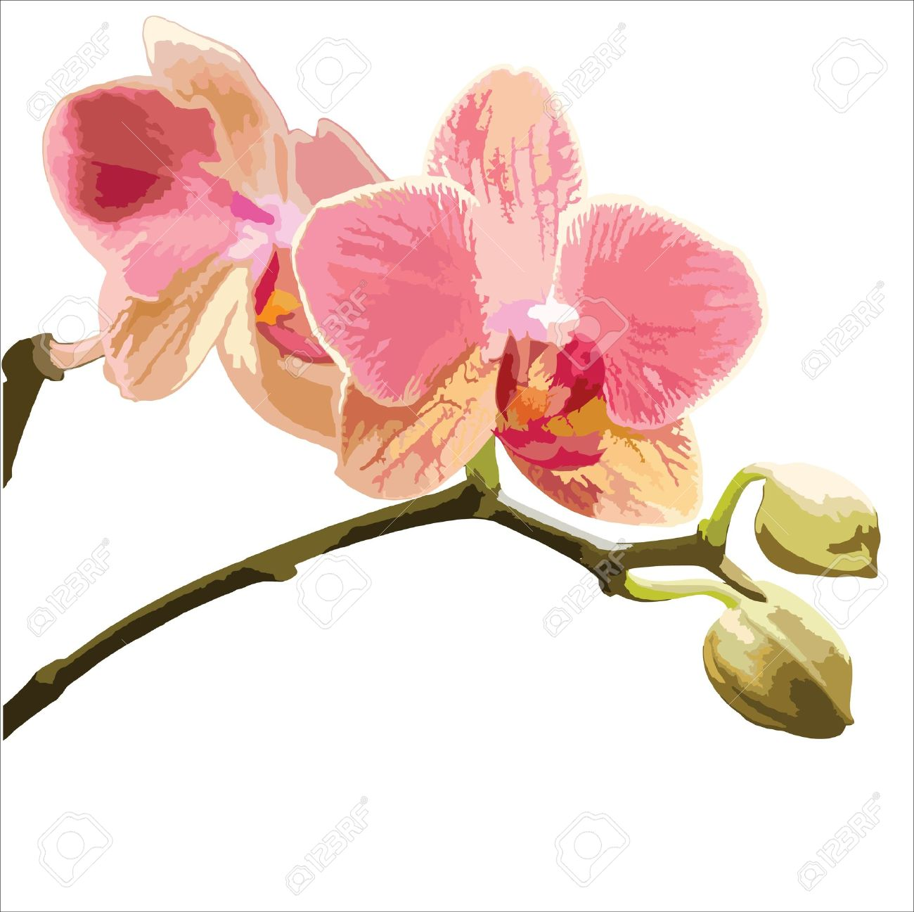 Vector Illustration Of A Phalaenopsis Orchid On White Background.