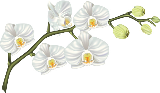 White Orchid Clip Art, Vector Images & Illustrations.