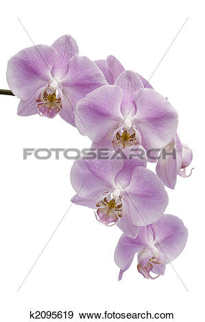 Stock Photograph of Flowers of a Phalaenopsis orchid hybrid.