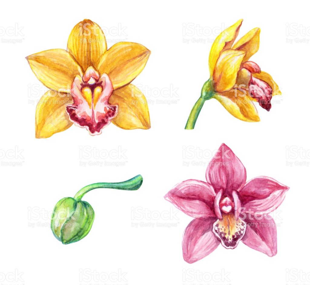 Watercolor Phalaenopsis Orchids Tropical Flowers Botanical Clip.